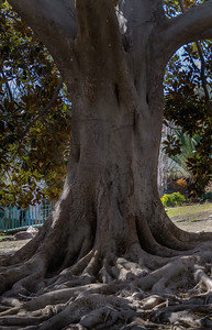 Massive Rubber Tree in Zoo Park