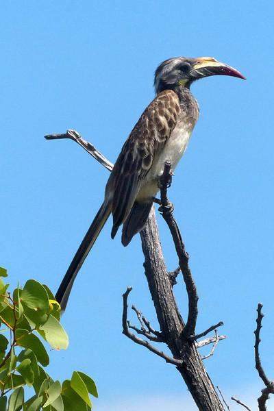 Yellow Billed Horn Bird, Ongava Game Reserve