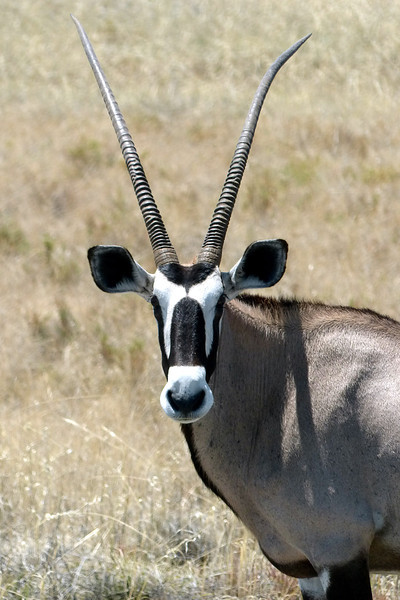 571 Oryx, Etosha National Park