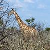 662 Giraffe, Ongava