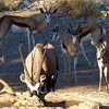 Springbok and Oryx