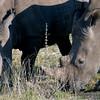 676 White Rhinos, Ongava