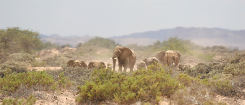 Desert-adapted Elephants in Damaraland, appearing through the heat haze from the desert towards the dry Huab river bed in search of water and food
