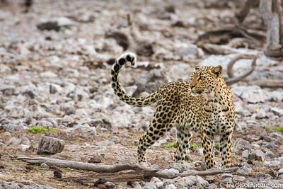 Leopard, Etosha National Park