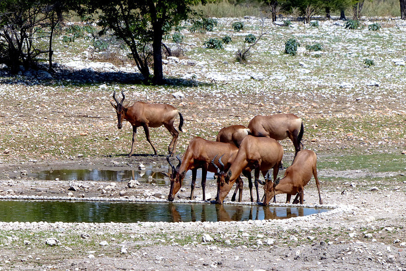 652 Red Hartebeest, Anderssons Camp