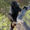 Chimp, Damaraland