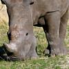 669 White Rhino, Ongava