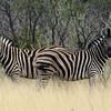 Zebras, Ongava Game Reserve