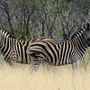 629 Zebras, Ongava Game Reserve