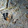 Bullit ant.