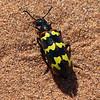 147 Blister Beetle, Sossusvlei Sand Dunes