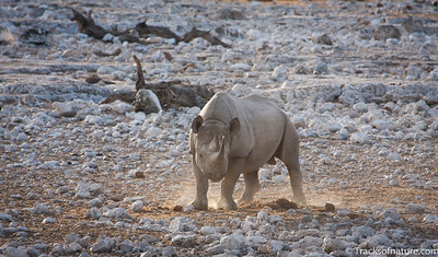 Black Rhino approaching waterhole, Etosha National Park