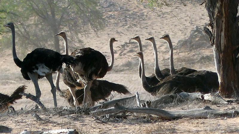 401 Ostriches, Damaraland