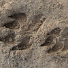 Brown Hyena tracks in the Skeleton Coast Park