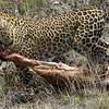587 Leopard, Etosha National Park
