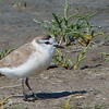 Plover, Road to Cape Cross