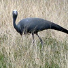 575 Blue Crane, Etosha National Park