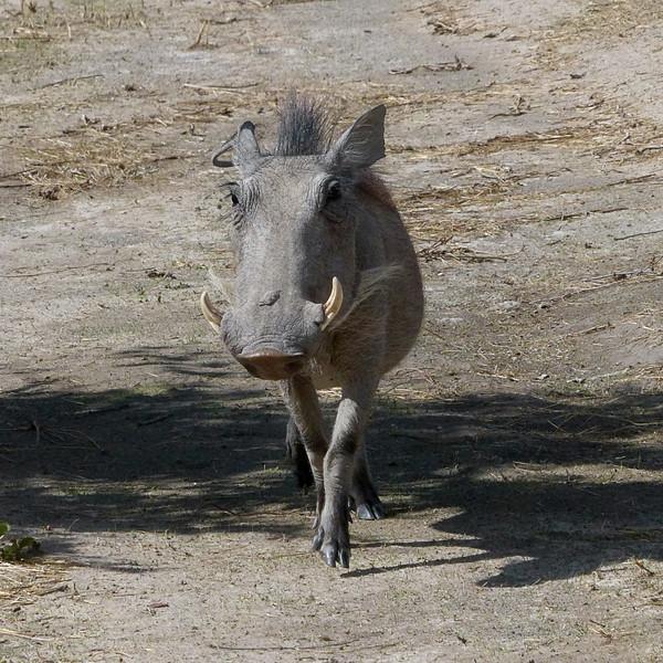 641 Warthog, Ongava Game Reserve