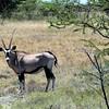 572 Oryx, Etosha National Park