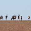 Gemsbok in the Skeleton Coast Park