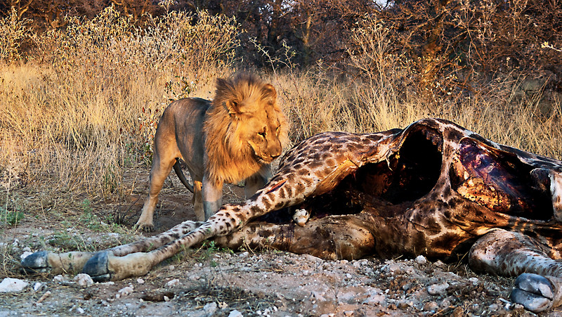 Lion  with  kill.
