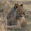 Young male lion on the Ongava Reserve