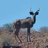 Kudu, Damaraland