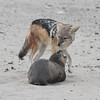 Black-backed Jackal checking whether this Cape Fur Seal pup was alive