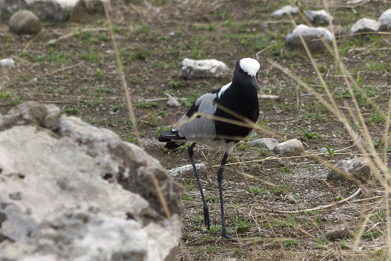 582 Blacksmith Plover, Etosha National Park