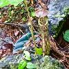 """Carniverous """"pitcher"""" plant, Borneo"""