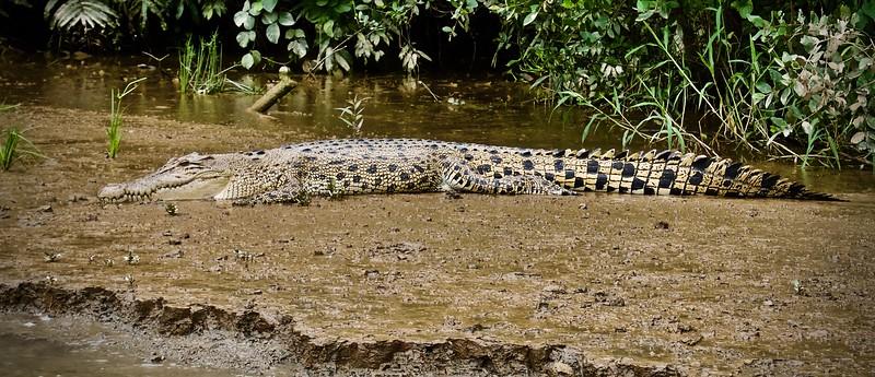 Crocodile, Kinabatangan River, Sarawak, Borneo 2017