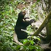Sun Bear at rescue Center Borneo 2017