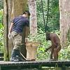 Orangutan in rehab, Borneo 2017