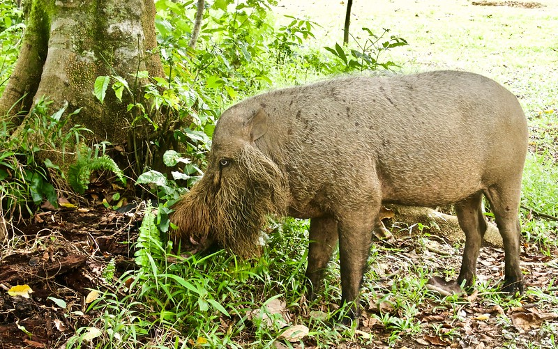 Wild boar at Bako National Park, Sarawak, Borneo