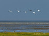 Snow-geese-in-flight-over-Hudson's-Bay-1,-Nanuk,-Manitoba