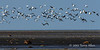 Snow-geese-in-flight-over-Hudson's-Bay-2,-Nanuk,-Manitoba