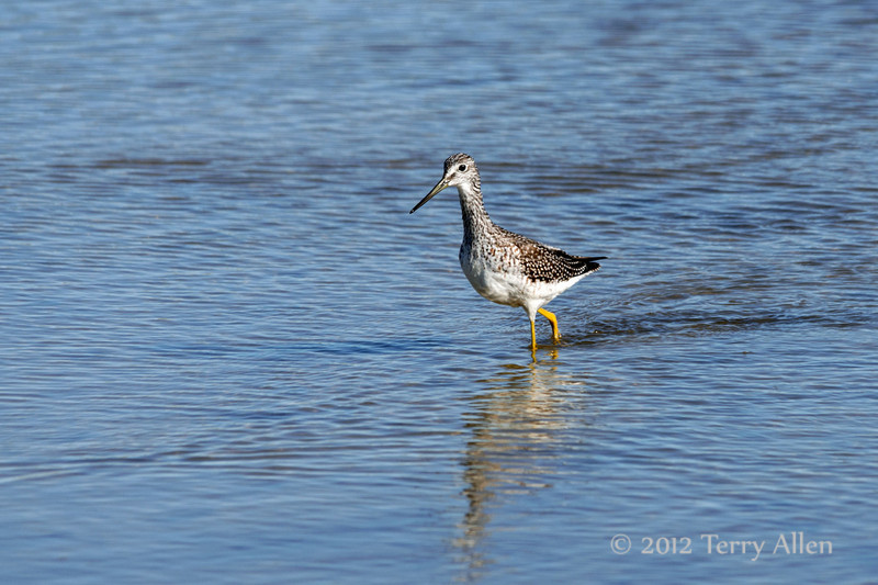 Greater-yellowlegs-(Tringa-melanoluca),-Nanuk,-Manitoba