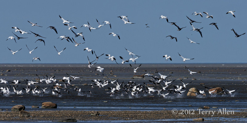 Snow-geese-taking-off-from-the-water,-Nanuk,-Manitoba