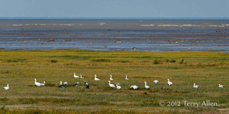 Shores-of-Hudson's-Bay-with-resting-snow geese,-Nanuk,-Manitoba