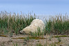 Polar-bear-resting-in-tall-grass-4,-Nanuk, Hudson's-Bay