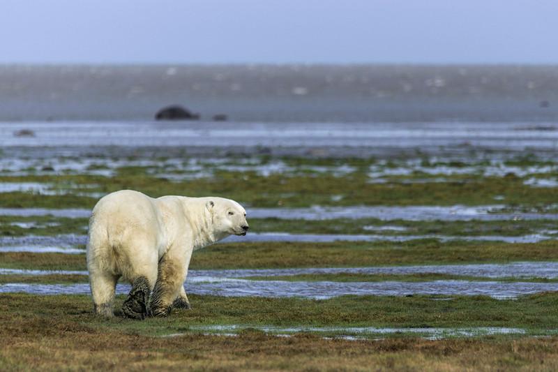 Polar-bear-turning-tail-1,-Nanuk,-Hudson's-Bay