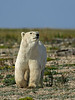 Curious-polar-bear-9,-Nanuk