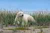Polar-bear-resting-in-tall-grass-3,-Nanuk, Hudson's-Bay
