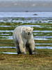 Large-polar-bear-catching-human-scent-2,-Nanuk,-Hudson's-Bay