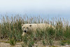 Polar-bear-in-tall-grass-3,-Nanuk,-Manitoba