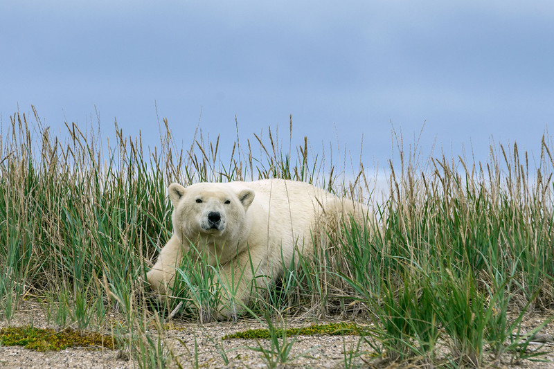 Polar-bear-in-tall-grass-4,-Nanuk,-Manitoba