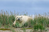 Polar-bear-in-tall-grass-4,-Nanuk,-Manitoba