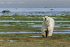 Large-polar-bear-catching-human-scent-1,-Nanuk,-Hudson's-Bay