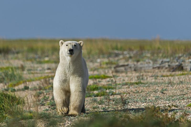 Curious-polar-bear-11,-Nanuk