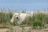 Polar-bear-resting-in-tall-grass-1,-Nanuk, Hudson's-Bay